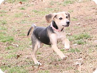 Beagle Mix Puppy for adoption in Union City, Tennessee - StarLyn