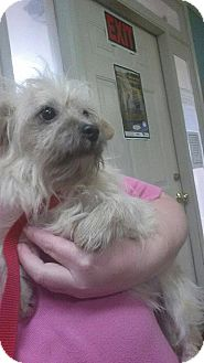 Yorkie, Yorkshire Terrier Mix Dog for adoption in Sumter, South Carolina - Wolfie