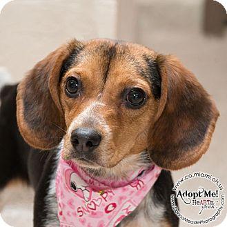Beagle Dog for adoption in Troy, Ohio - Allie