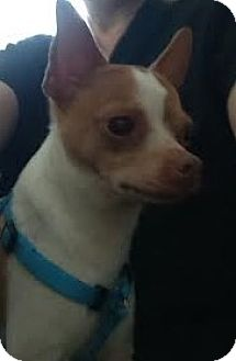 Chihuahua Mix Dog for adoption in Brick, New Jersey - Poquito (Poqi)
