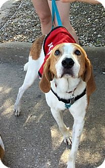 Hound (Unknown Type) Mix Dog for adoption in Virginia Beach, Virginia - Bostwick