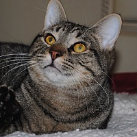 Domestic Shorthair Cat for adoption in Palmdale, California - Leo
