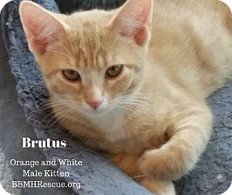 Domestic Shorthair Kitten for adoption in Temecula, California - Brutus