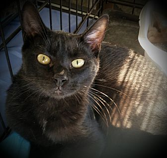 Domestic Shorthair Kitten for adoption in Fairborn, Ohio - Keith