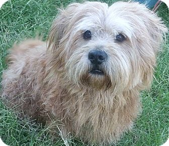 Wheaten Terrier/Lhasa Apso Mix Dog for adoption in Phoenix, Arizona - Eddie
