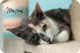 Domestic Mediumhair Cat for adoption in Middleburg, Florida - Mama