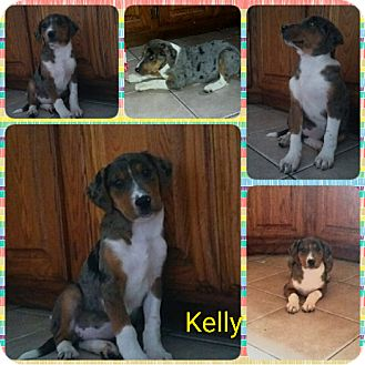 Australian Shepherd/Catahoula Leopard Dog Mix Puppy for adoption in Manchester, Connecticut - Kelly 1 pending adoption