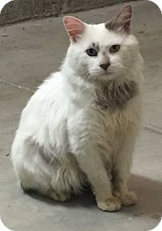 Turkish Angora Cat for adoption in Yorba Linda, California - Izzy