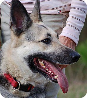 German Shepherd Dog Dog for adoption in Preston, Connecticut - Freedom AD 03-04-17