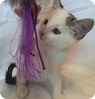 Domestic Shorthair Kitten for adoption in Orlando, Florida - Marley