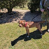 Pit Bull Terrier Dog for adoption in Richmond, Virginia - Reddington in Emporia, VA