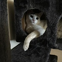 Adopt A Pet :: Marshmellow - Los Angeles, CA