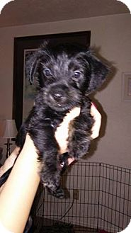 Yorkie, Yorkshire Terrier/Scottie, Scottish Terrier Mix Puppy for adoption in Lorain, Ohio - Floyd