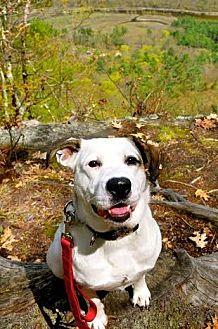 Collie/Spaniel (Unknown Type) Mix Dog for adoption in East Randolph, Vermont - Harpo