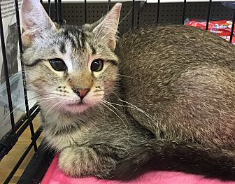 Abyssinian Cat for adoption in Gilbert, Arizona - Hazel