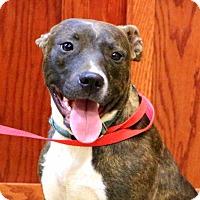 Adopt A Pet :: Trinka - Glastonbury, CT