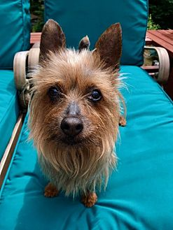 Yorkie, Yorkshire Terrier Mix Dog for adoption in Gig Harbor, Washington - Betsy