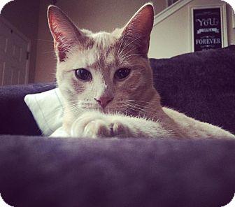 Domestic Shorthair Cat for adoption in Savannah, Georgia - Mac