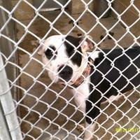 American Pit Bull Terrier Mix Dog for adoption in Opelousas, Louisiana - China