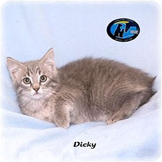 Domestic Shorthair Cat for adoption in Howell, Michigan - Dicky