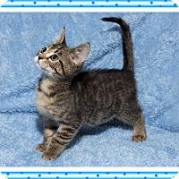 Adopt A Pet :: Scarlett - Mt. Prospect, IL