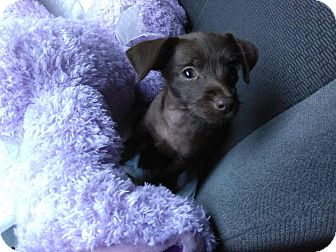 Chihuahua Mix Puppy for adoption in Saddle Brook, New Jersey - Riley