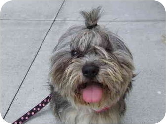 Lhasa Apso Dog for adoption in Portland, Oregon - Ralphy