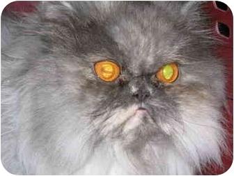 Persian Cat for adoption in Davis, California - Sylvie