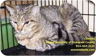 Domestic Shorthair Cat for adoption in Somerset, Pennsylvania - Cheetos