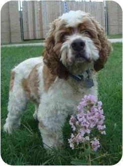 Cocker Spaniel Dog for adoption in Sugarland, Texas - Buddy