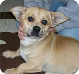 Pug/Beagle Mix Dog for adoption in North Judson, Indiana - Bart