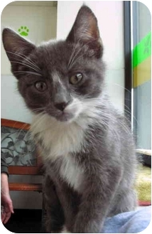 Domestic Shorthair Kitten for adoption in Portland, Oregon - Crackers