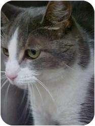 Domestic Shorthair Cat for adoption in Romulus, Michigan - WHITEGREY