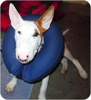 Bull Terrier Puppy for adoption in Houston, Texas - Teddy Roosevelt