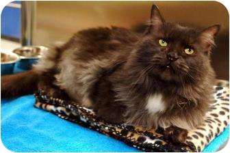 Domestic Longhair Cat for adoption in Schaumburg, Illinois - Chica