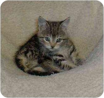 Domestic Mediumhair Cat for adoption in Owatonna, Minnesota - Sierra