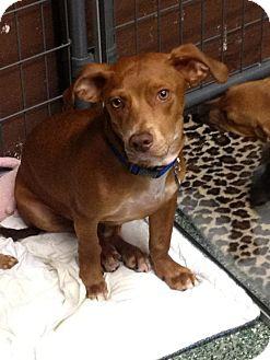 Corgi/Labrador Retriever Mix Puppy for adoption in Simi Valley, California - Rusty