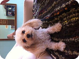 Poodle (Toy or Tea Cup) Dog for adoption in Los Angeles, California - Belle