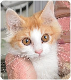Domestic Longhair Kitten for adoption in Gardnerville, Nevada - Jesse James