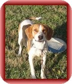 Treeing Walker Coonhound/Coonhound Mix Dog for adoption in Staunton, Virginia - Magnolia