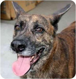 Dutch Shepherd/Labrador Retriever Mix Dog for adoption in Canoga Park, California - Bosco