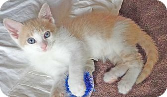 Domestic Shorthair Kitten for adoption in Trevose, Pennsylvania - Gena