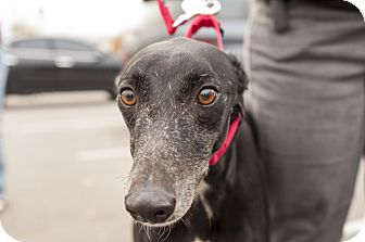 "Greyhound Dog for adoption in Smyrna, Tennessee - M's Free Shot ""Winston"""