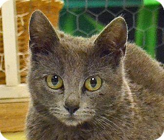 Domestic Shorthair Cat for adoption in Searcy, Arkansas - Davalynn