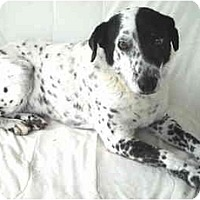 Adopt A Pet :: Gizmo- Dalmation-Senior - Charleston, AR