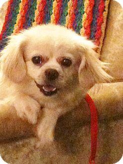 Pekingese Dog for adoption in Umatilla, Florida - Preshess
