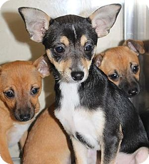 Chihuahua/Miniature Pinscher Mix Puppy for adoption in Staunton, Virginia - Bear