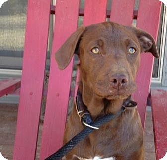 Golden Retriever/Labrador Retriever Mix Puppy for adoption in Boston, Massachusetts - Willow