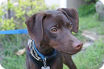 Hound (Unknown Type)/Miniature Pinscher Mix Dog for adoption in Parkville, Missouri - Cocoa