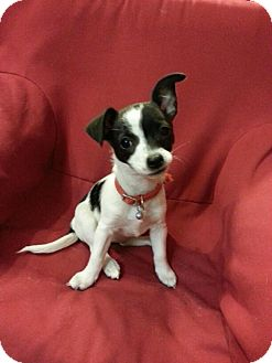 Chihuahua Mix Puppy for adoption in Antioch, California - Mina